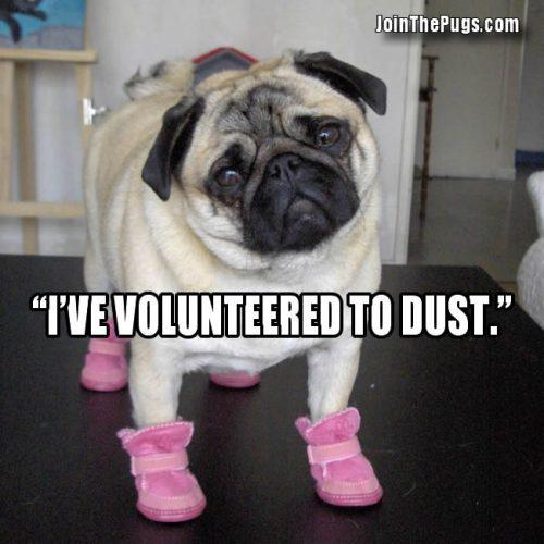 Pug Volunteers to Work