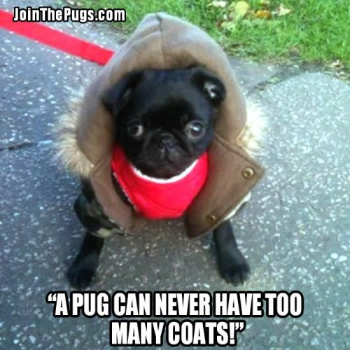 Fashionable Pug -  Join the Pugs