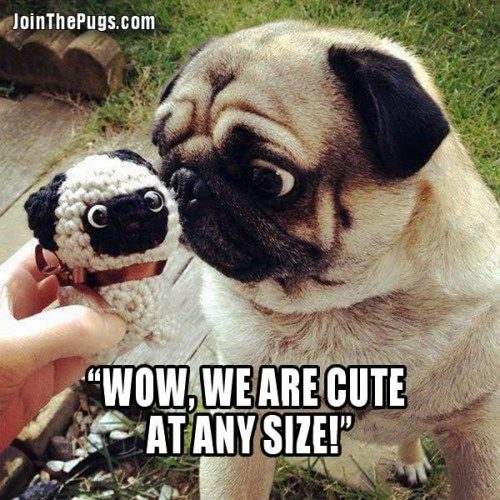Cute at any size - Join the Pugs