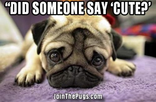 Join the Pugs - (did someone say cute)