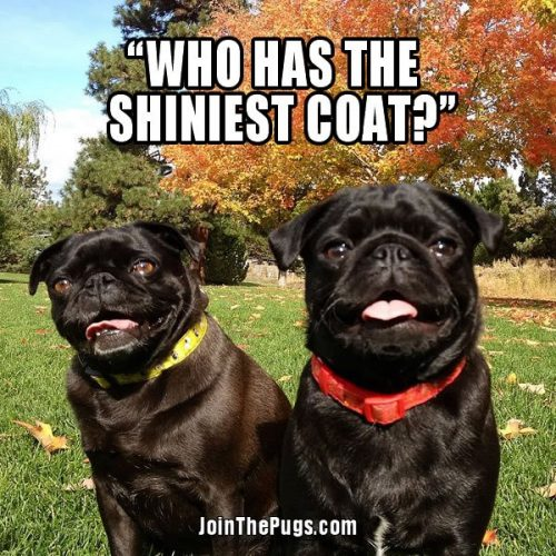 who has the shiniest coat - Join the Pugs