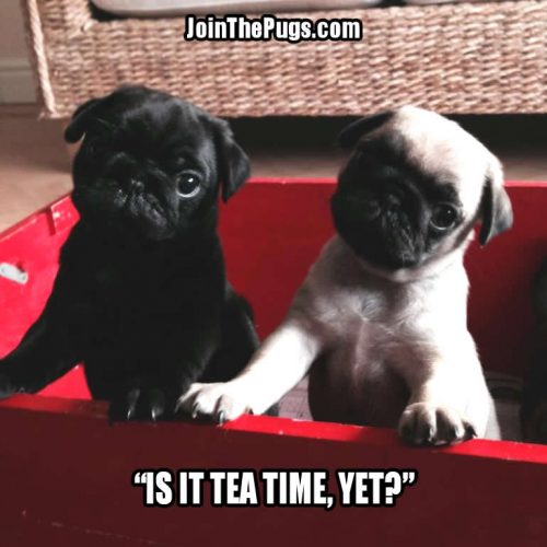 A Spot of Tea, Please! - Join the Pugs