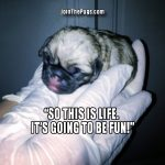 Baby Pugs Pictures