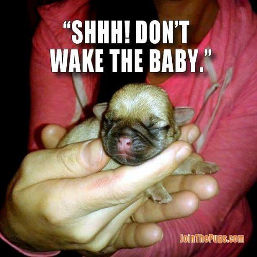 Adorable Pug Baby