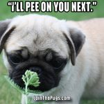 The Truth About Pugs