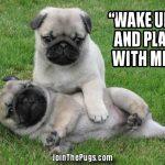Pug Nap Interrupted