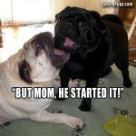 Pug Sibling Rivalry
