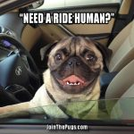 Pug joy ride