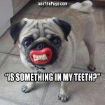 Pug wants dental veneers