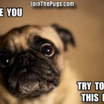 Cute-Pug-Dares-You