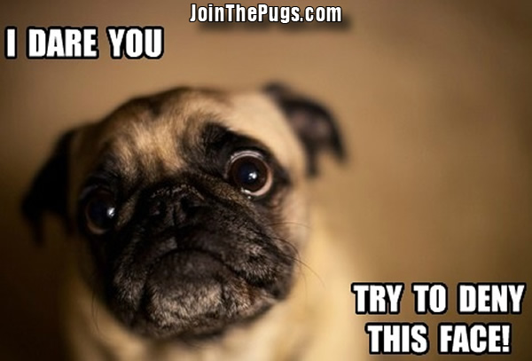 join the pugs gt cute little pug