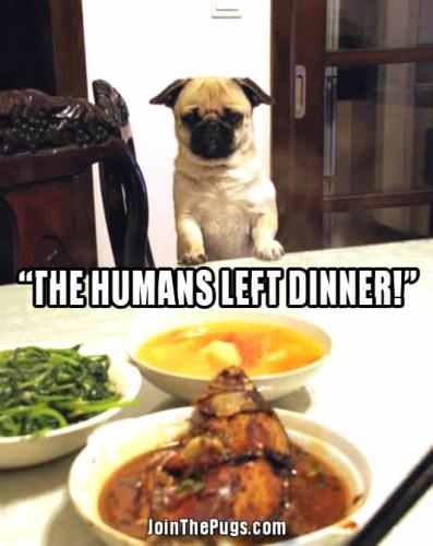 Pug Ready For Dinner