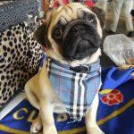 Pug in Fashion