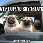 Pug on a treat mission
