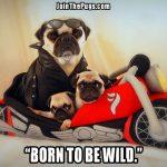 Rider Pugs