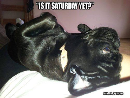 Saturday Pug