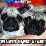 You Can't Say, No to these Pugs