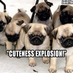 pug cuteness explosion