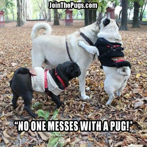 Don't Mess With a Pug - Join the Pugs