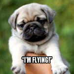 Flying Pug - Join the Pugs