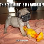 This Big Bird is my favorite - Join the Pugs