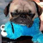 Cookie Pug - Join the Pugs