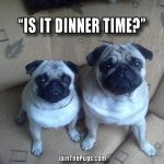 Is it dinner time - Join the Pugs