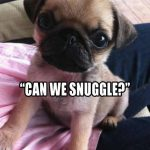 Can we snuggle - Join the Pugs