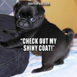Shiny Happy Pug - Join the Pugs