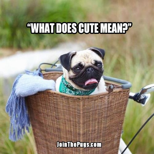 cute Pug in a basket  - Join the Pugs