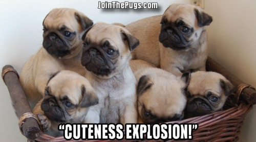pug explosion - Join the Pugs