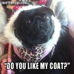 Join The Pugs - Do you like my coat