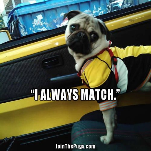 Color Coordinated Pug - Join the Pugs