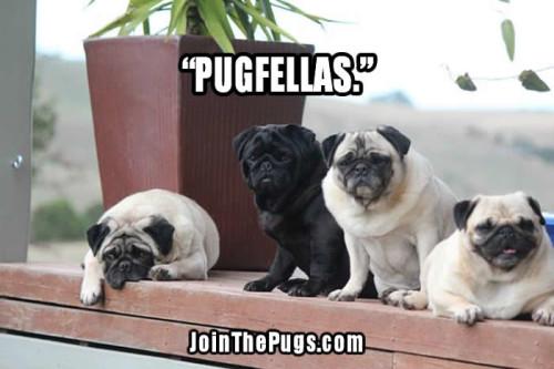 Pugfellas - Join the Pugs - Pug Power