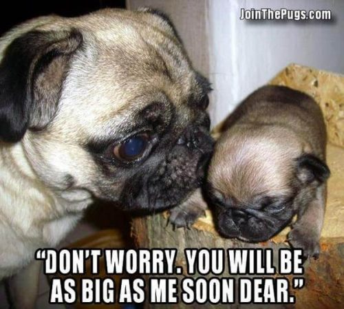 You'll be as big as me soon Pug