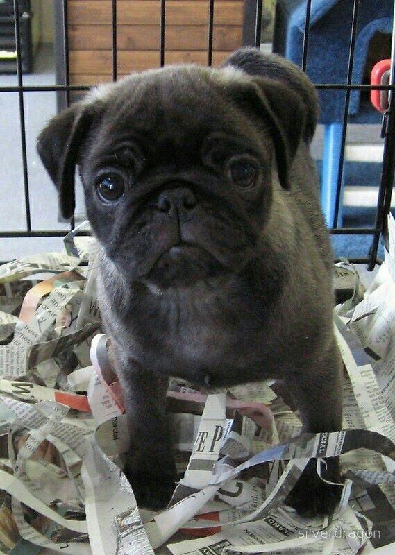 Beautiful Silver Pug