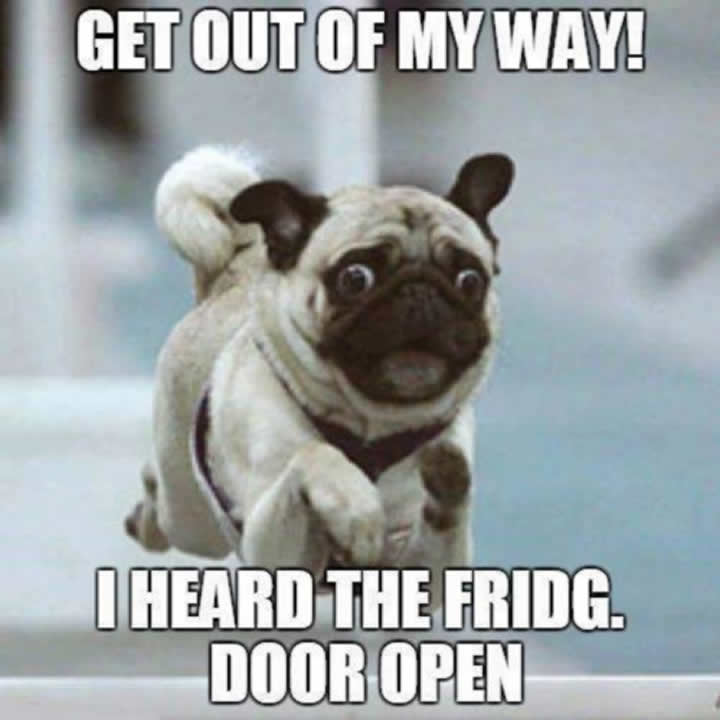 Pug hears the fridge door open