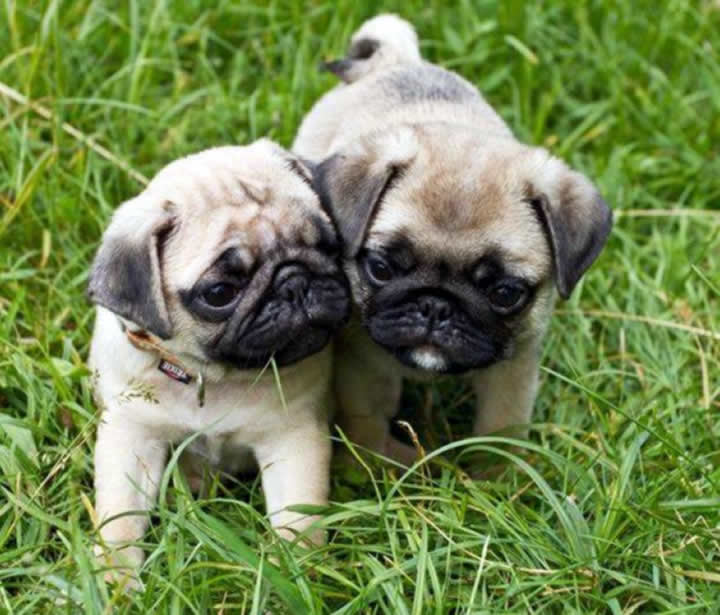 Two Pugs who love playing