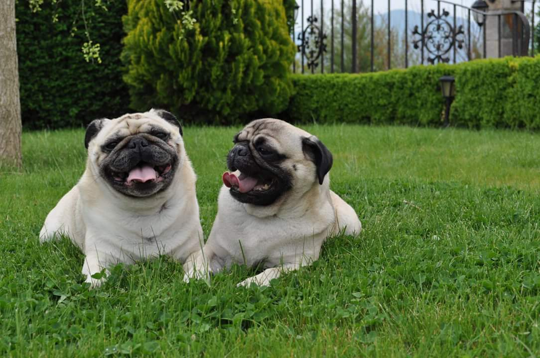 Cute Pug couple is ready for spring
