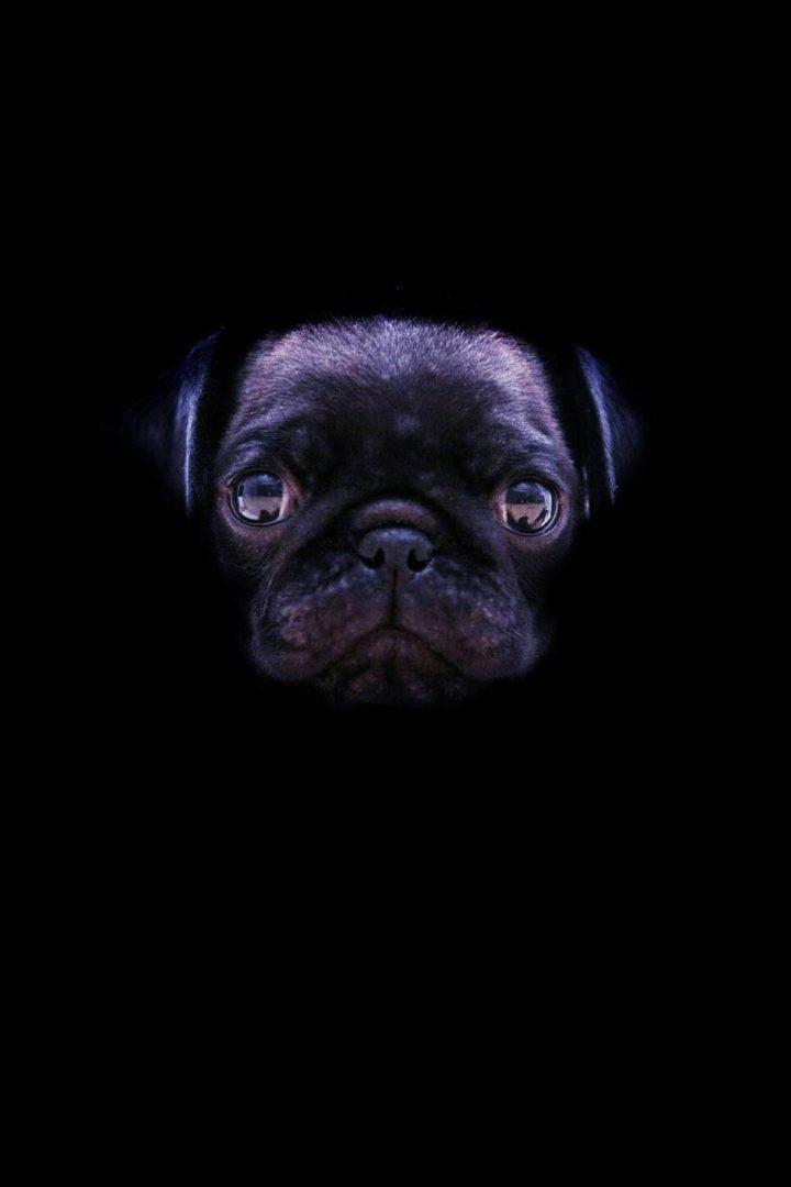 I am Bat Pug
