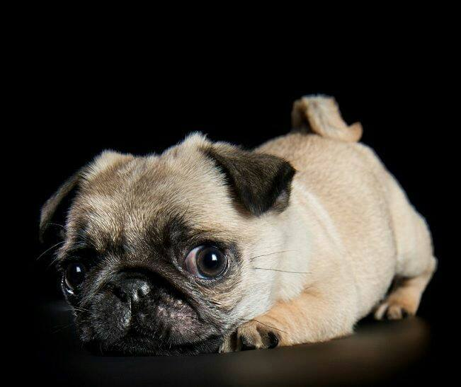 Pug asks Is it the Weekend yet