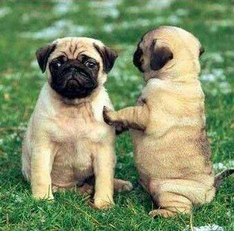 Pugs are unexcited about Monday