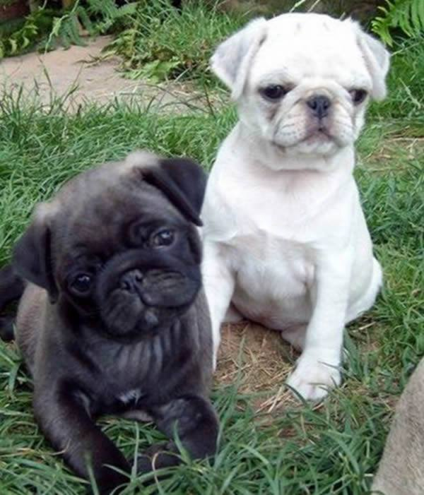 Silver Pugs melt our hearts