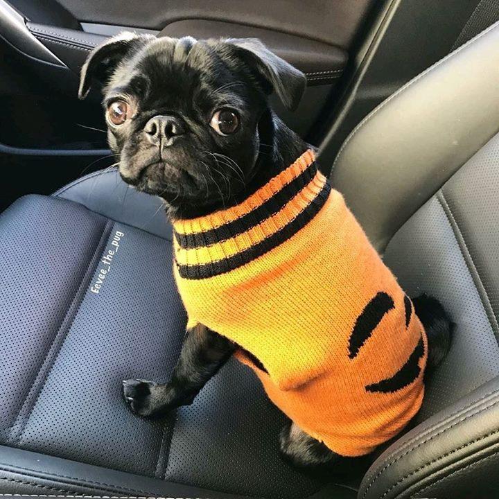 Eevee the Pug Is Adorable in Her Halloween Sweater
