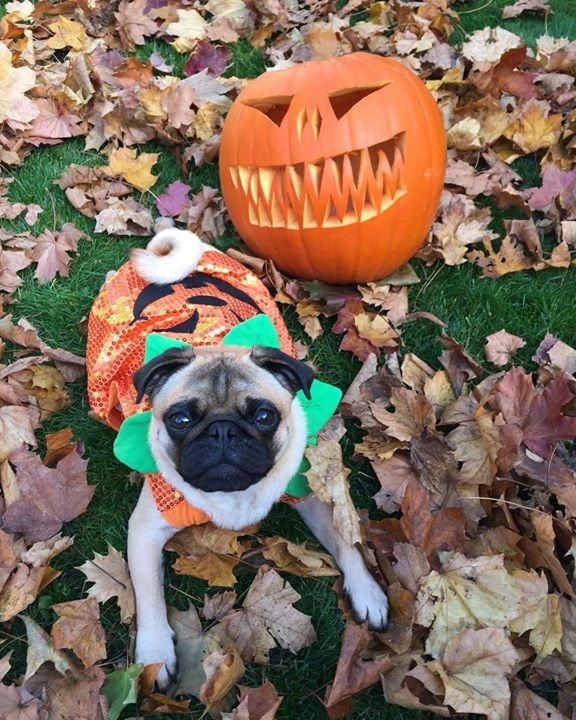 Happy Halloween from Loftus the Pug!