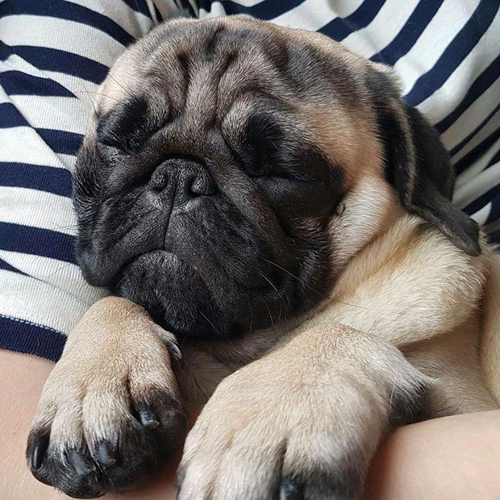 Thank you to cutie pie the Pug Arthur