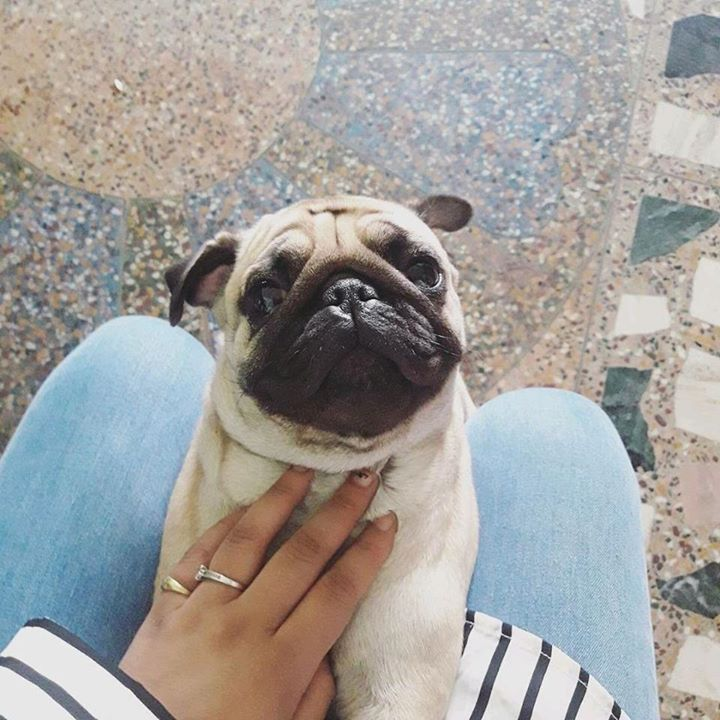 Piksi the Pug is excited about getting an extra hour of sleep tonight