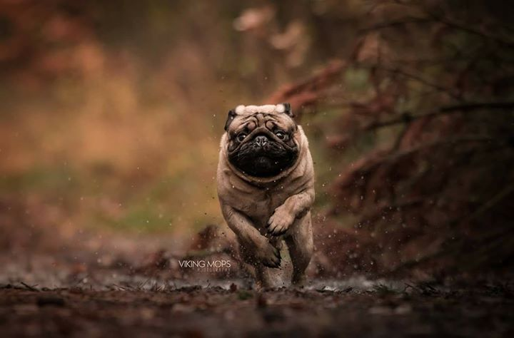 Hungry Pug says, Watch out, I'm coming for the food!