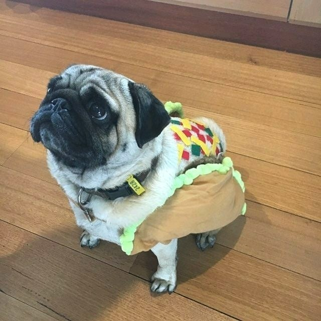 Pug is dreaming of hot dogs for dinner