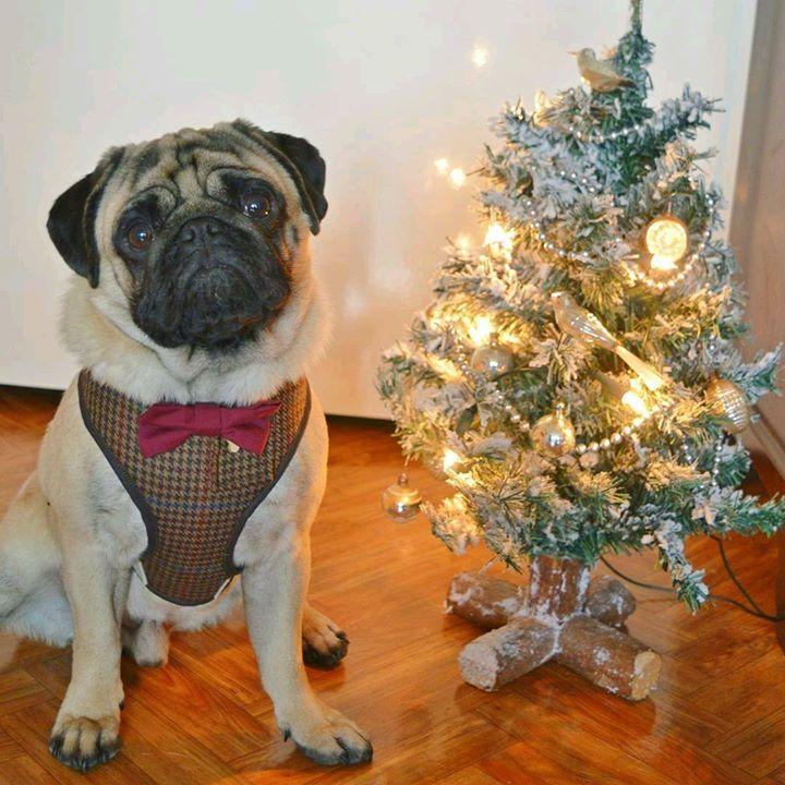 The Pug Arthur and his Christmas tree